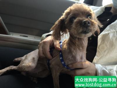 【南京捡到狗】南京流浪泰迪找原主人或好心人收养