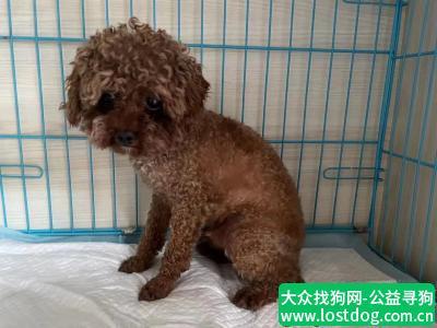 【成都捡到狗】成都龙泉东山领地捡到棕色小泰迪