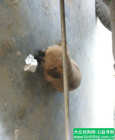 【开封找狗】寻找小狗,一只和黄鼠狼一样颜色的小狗。